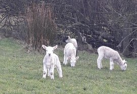 The lambs have arrived on the Antrim Coast!