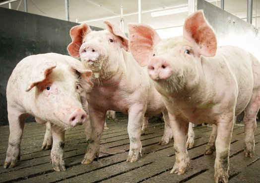 UFU disappointed with NI pig processors